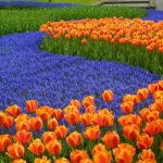 Los Jardines Keukenhof. Como llegar a los jardines Keukenhof desde Amsterdam