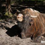 Reserva del bisonte en el bosque de Bialowieza en imágenes